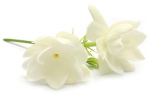 Jasmine flower over white background